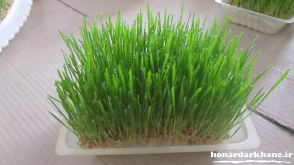 سبزه گندم