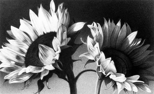 نقاشی سیاه قلم گل آفتابگردان